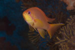 Scalefin Anthias Fish Beqa Lagoon, Fiji by Stocktrek Images