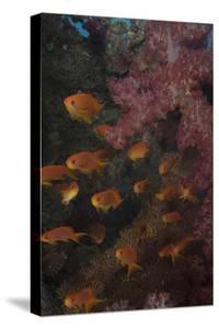 Scalefin Anthias Fish in Beqa Lagoon, Fiji by Stocktrek Images