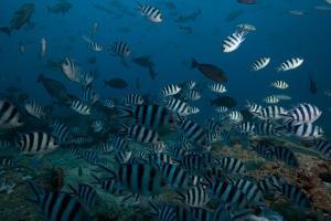 School of Sergeant Major Fish at the Bistro Dive Site in Fiji by Stocktrek Images