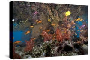 Schooling Scalefin Anthias Fish and Soft Corals of Beqa Lagoon, Fiji by Stocktrek Images