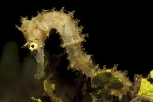 Side View of a Pale Cream Colored Thorny Seahorse by Stocktrek Images