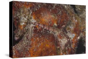 Small Lizardfish, Fiji by Stocktrek Images