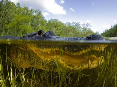 Split Level View of An American Alligator, Florida Everglades