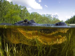 Split Level View of An American Alligator, Florida Everglades by Stocktrek Images