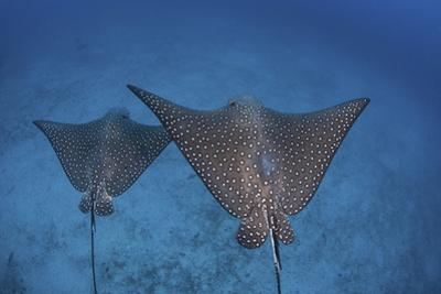 Spotted Eagle Rays Swim over the Seafloor Near Cocos Island, Costa Rica by Stocktrek Images