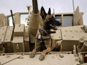US Air Force Military Working Dog Sits on a US Army M2A3 Bradley Fighting Vehicle by Stocktrek Images