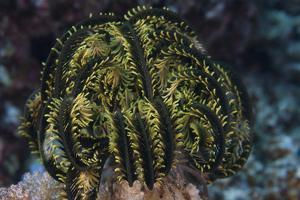Yellow Criniod Feather Star Balled Up on the Reefs Edge in Fiji by Stocktrek Images