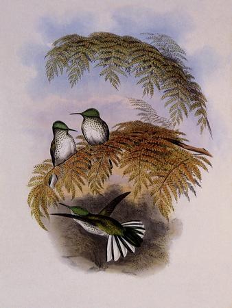 https://imgc.artprintimages.com/img/print/stokes-hummingbird-eustephanus-stokesi_u-l-q1bvord0.jpg?p=0