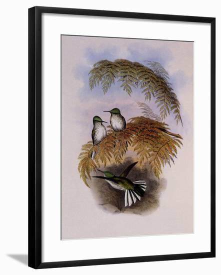 Stokes Hummingbird, Eustephanus Stokesi-John Gould-Framed Giclee Print