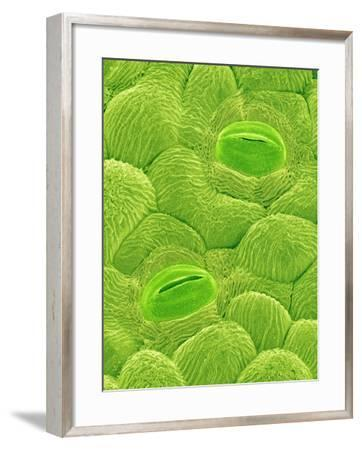 Stomata on a Camellia Leaf-Micro Discovery-Framed Photographic Print