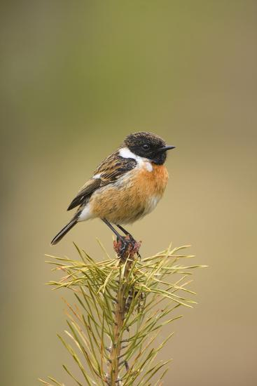 Stonchat Male Perched on Top of a Young Conifer Tree May--Photographic Print