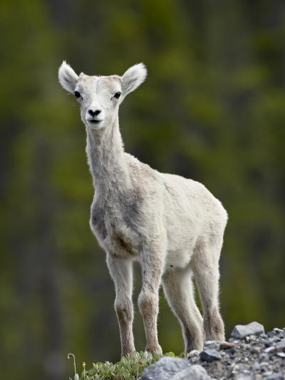 Stone Sheep (Ovis Dalli Stonei) Lamb, Muncho Lake Provincial Park, British Columbia, Canada-James Hager-Photographic Print