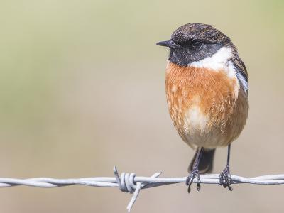 Stonechat (Saxicola Rubicola), Middlesborough, England, United Kingdom, Europe-David Gibbon-Photographic Print