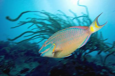 Stoplight Parrotfish Supermale-Peter Scoones-Photographic Print