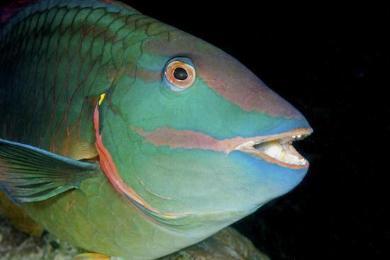 Stoplight Parrotfish-Clay Coleman-Photographic Print