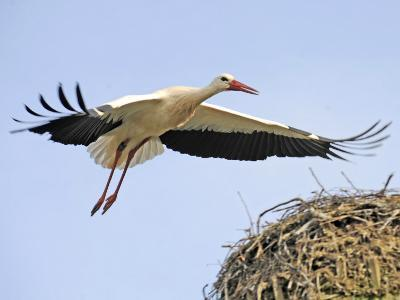 Stork Approaches its Nest in Holzen--Photographic Print