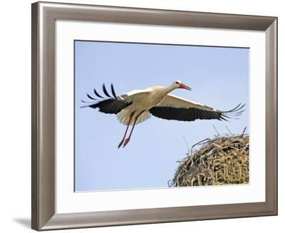 Stork Approaches its Nest in Holzen--Framed Photographic Print
