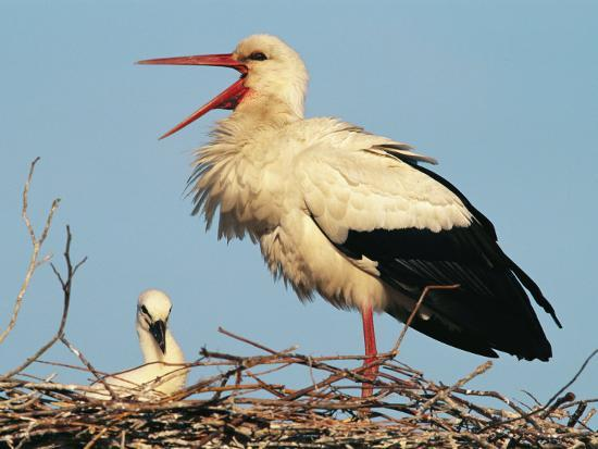 Stork Vocalizing in Nest with Young-Norbert Rosing-Photographic Print