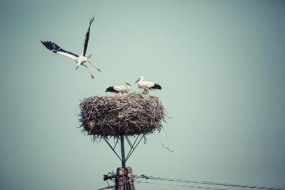 Stork with Baby Birds in the Nest, Poland.- Curioso-Photographic Print