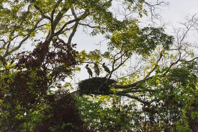 Storks with Nest on a Tree, North Rupununi, Southern Guyana-Keren Su-Photographic Print