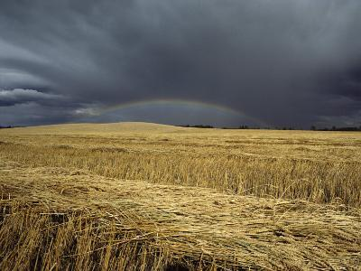 Storm Clouds and a Rainbow over a Manitoba Wheat Field-Medford Taylor-Photographic Print