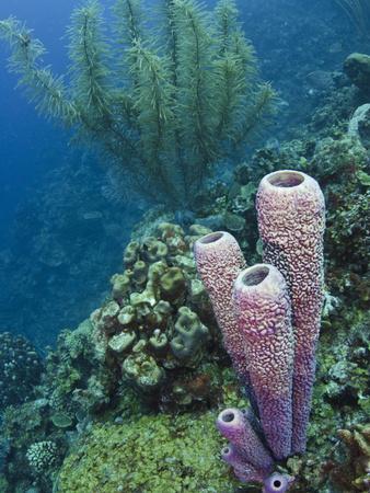 https://imgc.artprintimages.com/img/print/stove-pipe-sponge-aplysina-archeri-bonaire-netherlands-antilles-caribbean_u-l-pfwixf0.jpg?p=0