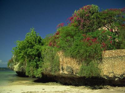 Bougainvillea Along Wall Next to Sea, Malindi, Kenya, East Africa, Africa