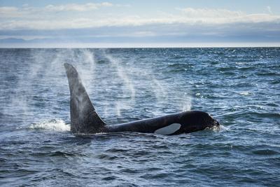 https://imgc.artprintimages.com/img/print/straight-of-juan-de-fuca-washington-state-usa-southern-resident-killer-whale-blowing_u-l-q1gtfip0.jpg?p=0