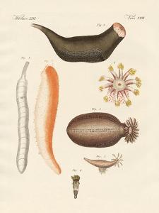 Strange Holothuries