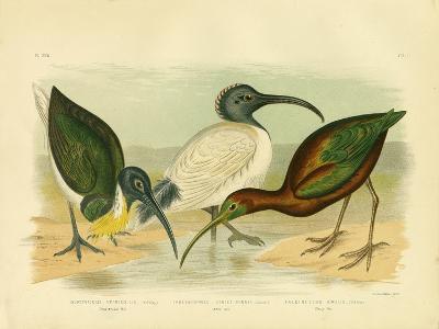 Straw-Necked Ibis, 1891-Gracius Broinowski-Giclee Print