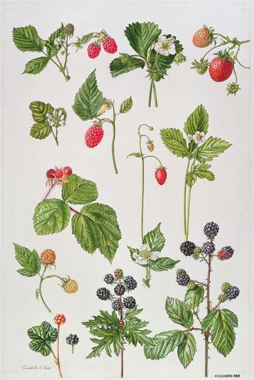 Strawberries, Raspberries and Other Edible Berries-Elizabeth Rice-Premium Giclee Print