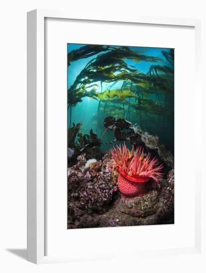 Strawberry Anemone (Utricina Lofotensis) Grows Beneath Bull Kelp Forest (Nereocystis Luetkeana)-Alex Mustard-Framed Photographic Print