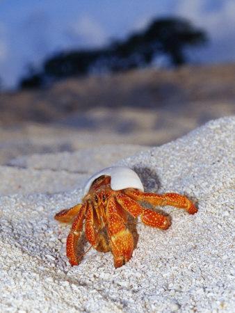 https://imgc.artprintimages.com/img/print/strawberry-land-hermit-crab-emerging-from-its-shell-on-a-sand-beach_u-l-p8bbkk0.jpg?p=0