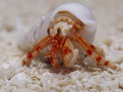 https://imgc.artprintimages.com/img/print/strawberry-land-hermit-crab-emerging-from-its-shell-on-a-sand-beach_u-l-p8gr2k0.jpg?p=0