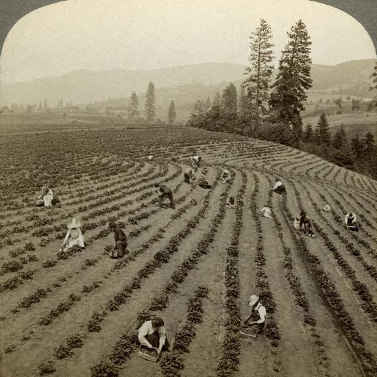 Strawberry Picking, Cedar Creek Farm, Hood River Valley, Oregon, Usa-Underwood & Underwood-Photographic Print