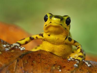 Strawberry Poison Dart Frog (Dendrobates Pumilio), Bastimentos National Park, Bocas Del Toro-Thomas Marent-Photographic Print