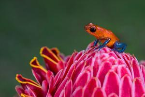 Strawberry Poison-Dart Frog (Oophaga Pumilio), Sarapiqui, Costa Rica