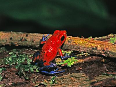 Strawberry Poison Dart Frog, Rainforest, Costa Rica-Charles Sleicher-Photographic Print