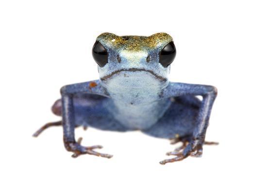 Strawberry Poison Frog (Oophaga Pumilio) Escudo De Veraguas, Panama. Meetyourneighbours. Net Projec-Jp Lawrence-Photographic Print