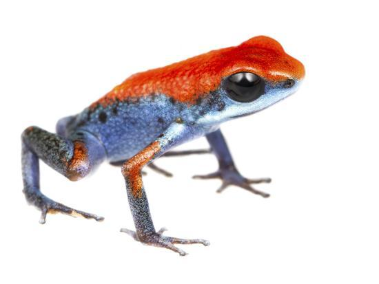 Strawberry Poison Frog (Oophaga Pumilio) Escudo De Veraguas, Panama. Meetyourneighbours.Net Project-Jp Lawrence-Photographic Print