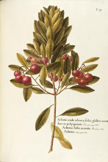 Strawberry Tree--Giclee Print
