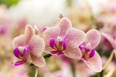 Streaked Orchid Flowers. Beautiful Orchid Flowers.- pojvistaimage-Photographic Print