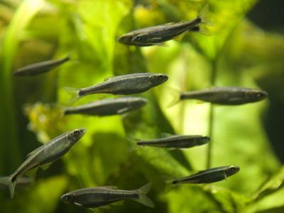 Stream Fish in an Aquarium-Joel Sartore-Photographic Print