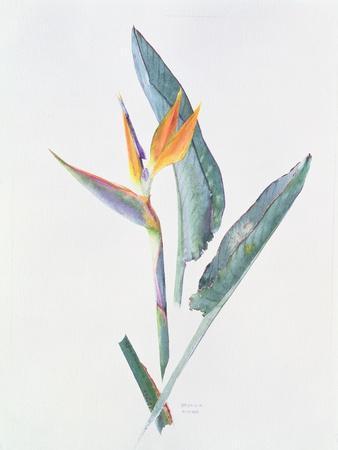 https://imgc.artprintimages.com/img/print/strelizia-c-1980_u-l-pje0q00.jpg?p=0