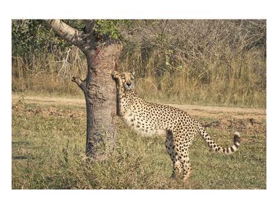 https://imgc.artprintimages.com/img/print/stretching-cheetah_u-l-f8bs000.jpg?p=0
