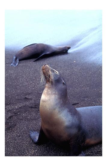 Stretching Seal, Galapagos-Charles Glover-Giclee Print