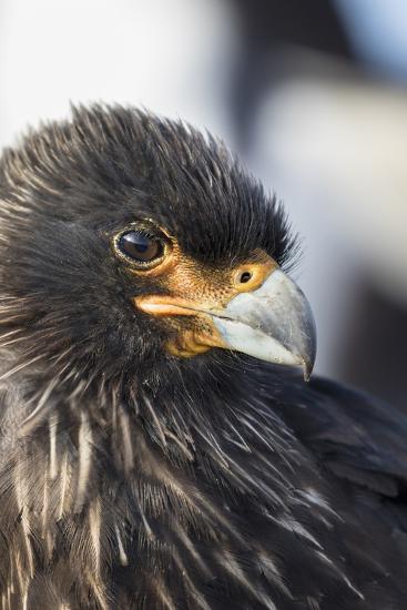 Striated Caracara (Phalcoboenus Australis), Falkland Islands-Martin Zwick-Photographic Print