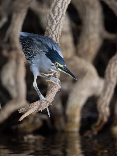 Striated Heron, Butorides Striata, Hunting-Roy Toft-Photographic Print