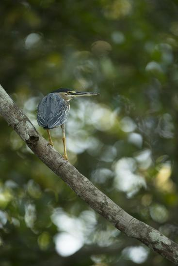 Striated Heron-Joe McDonald-Photographic Print