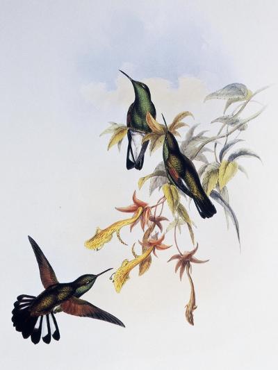 Stripe-Tailed Hummingbird (Eupherusa Eximia)-John Gould-Giclee Print